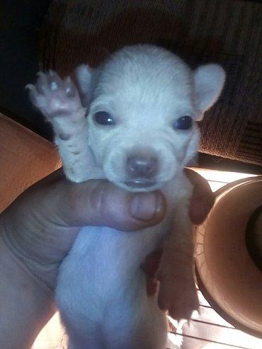 продаются перспективные щенки чихуа хуа от титулованых родителей для п в Бишкек