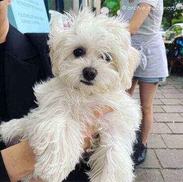 57 объявлений   ЖИВОТНЫЕ: Maltese PuppiesБалалуу болуу үчүн таттуу жана ойноок Мальта. Алар 12