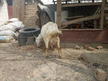 Продаю | Коза (самка) | Зааненская | Для молока