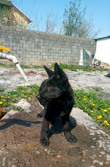 итальянские шелковые платья в Кыргызстан: Срочно продаётся Родословный щенок Немецкая овчарка окрас черный