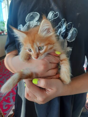 Находки, отдам даром - Таш-Мойнок: Отдадим даром котят в хорошие руки