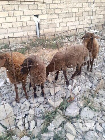 qoyunlar - Azərbaycan: Biləcəridə 4 ədəd erkey qurbanlıq qoyunlar satiliir. Quranliga dusur 7