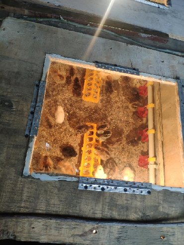 Продаю домашних цыплят (район, Арча бешик)