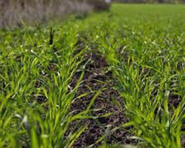 188 объявлений: Продаю семена озимого(двуручка) ячменя сорт Альта