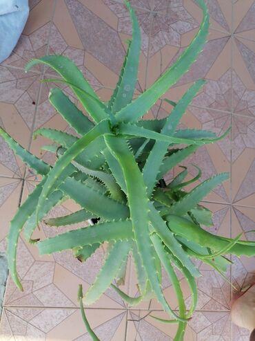 Aloe gulu