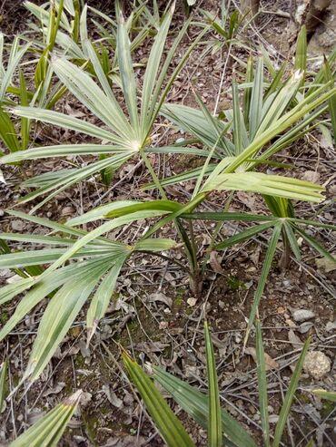 Otaq bitkiləri - Azərbaycan: Palma ağacları25 cm 20 eded.1 ədədi - 4 azn30 cm 40 eded 1 ədədi