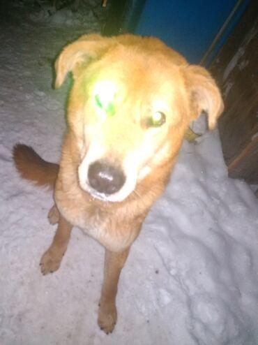 ламинаторы wallner для дома в Кыргызстан: Это Рон добрый и милый пёс с очень мягкой шерстью. Он мастив с