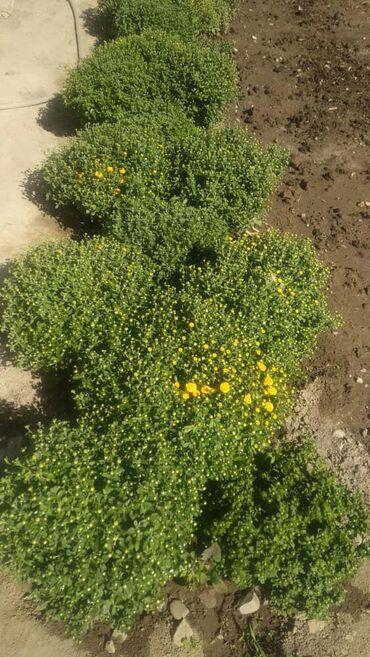 Семена и уличные растения - Сокулук: Семена и уличные растения