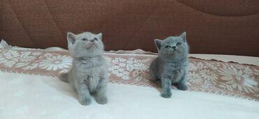 детские кеды на платформе в Азербайджан: Очень красивые британские котята. Так как они на одном месте не стоят