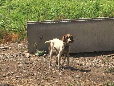 Животные - Талас: Срочно продаю собаку породы курцхаар.Собаке 5,5 месяцев.сучка,только н