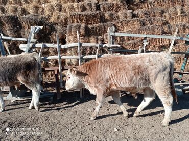 С/х животные - Кыргызстан: Бир жашка чейинки Букалар сатылат25баш. Баасы чондору 50