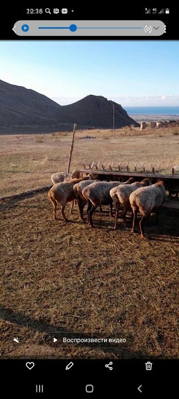 55 объявлений | ЖИВОТНЫЕ: Продаю | Овца (самка), Баран (самец) | Гиссарская | Для разведения | Котные