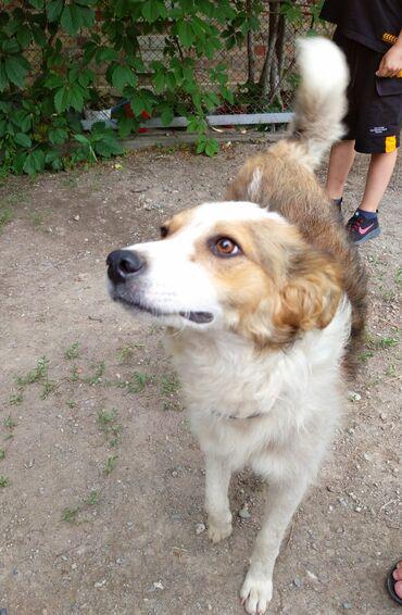 Находки, отдам даром - Аламедин (ГЭС-2): Найден пёс, около 1 года. Среднего размера, кудрявый. Обращаться по те