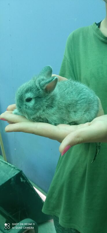 Декоративные кролики - Кыргызстан: Декоративные кролятки.привитые.1.5месеца