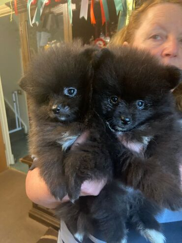 Λατρευτά γενεαλογικά κουτάβια Pomeranian. Είναι εγγεγραμμένα στο KC