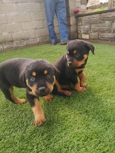 Γοητευτικά αρσενικά και θηλυκά κουτάβια Rottweiler γοητευτικά αρσενικά