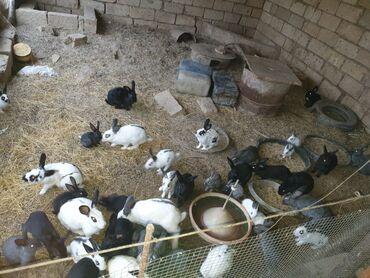 3 elan | HEYVANLAR: Boyuk dovşan 10 manat balacalar 5 manat her rengde var