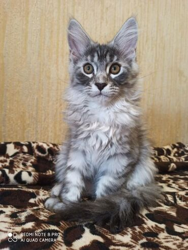Продаются чудесные котята породы мейн-кун2 месяца. К лотку