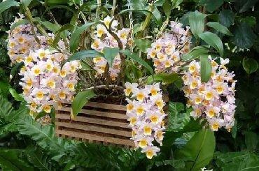 Semena | Arandjelovac: DENDROBIJUMCena:550din/50semenkiDendrobijum je jedna od
