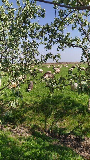 Çoban tələb olunur