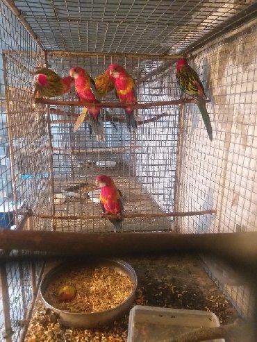 Продам птенцов красных раздел. 4500