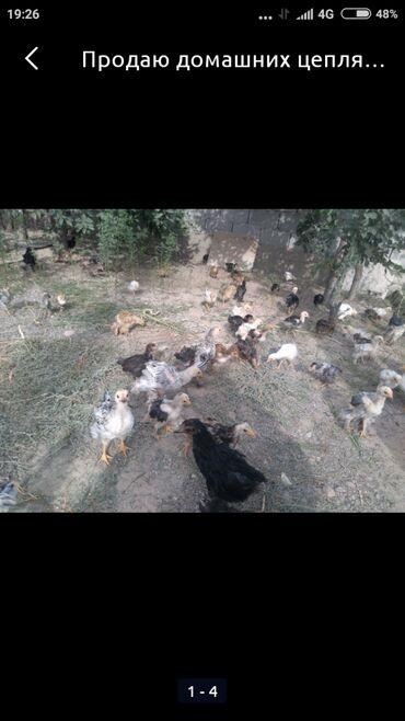 Животные - Кант: Продаю | Цыплята | Домашняя | Несушки