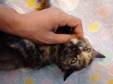 Отдаю кошечку-котёнка в добрые руки. Кушает всё к лотку приучена