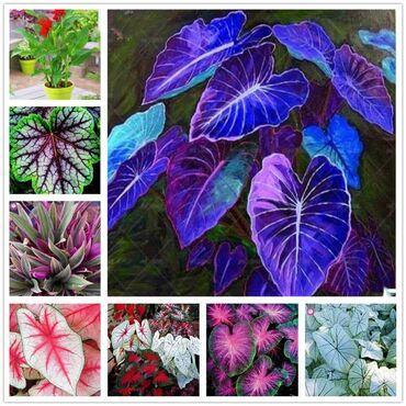 Kuća i bašta | Arandjelovac: Cena:550din/50 semenkiHoste su dekorativne lisne trajnice koje su