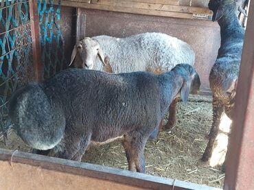 Животные - Орто-Сай: Продаю | Баран (самец) | Гиссарская | Для разведения | Племенные, Осеменитель