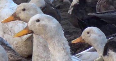 Bakı şəhərində Kuban ördekleri satilir optavoy