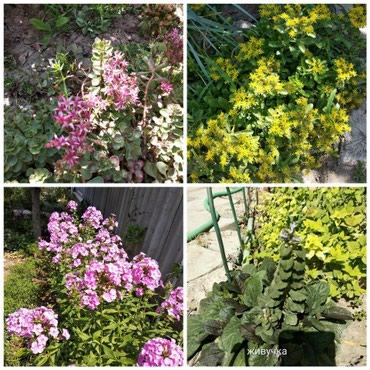 Садовые цветы цена за отросток.юка150. в Бишкек