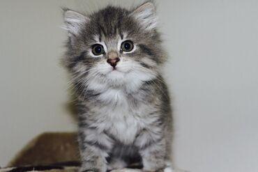 Na prodaju sibirske mačke i mačićiImam vrlo slatku nježnu smeđu ženku