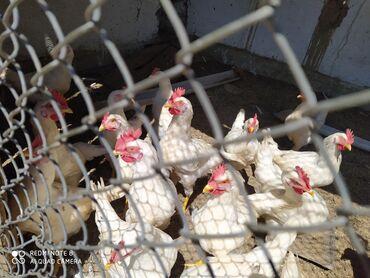 Животные - Кызыл-Суу: Порода короздор сатылат, несушка 4 айлык 350 сомдон