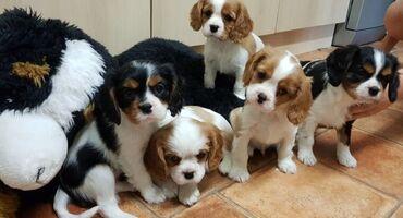 Για σκύλους - Αθήνα: Όμορφα σκουπίδια κουταβιών Cavalier King Charles Spanielπου είναι
