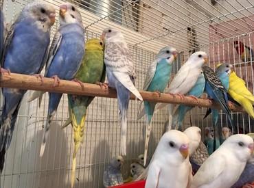 Волнистые попугайчики приручаются к рукам и хорошо разговаривают. Так