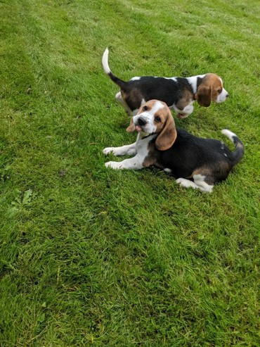 Beagle Puppies Boys And Girls Available σε Athens