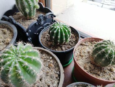 Kaktuslar, 50 qep