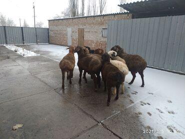 Животные - Кыргызстан: Продаю | Баран (самец) | Гиссарская