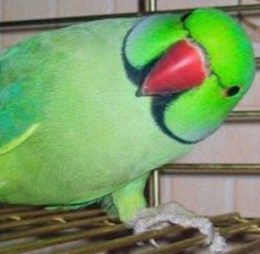 2357 объявлений: Попугаи Ожиреловые хорошо учатся говорить и приручаются к рукам