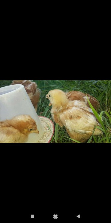 Продаю цыплят привитых
