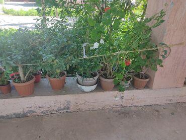 Комнатные растения - Кыргызстан: Денежное дерево