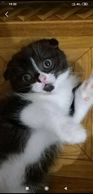 Продаётся из профессионального питомника - Шотландский котик. Очень у