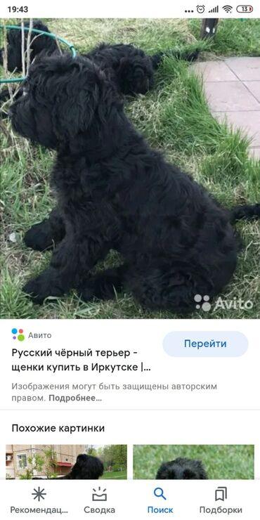 джек рассел терьер бишкек in Кыргызстан | СОБАКИ: Куплю щенка русский черный терьер