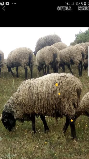 romanov qoyun satiram - Azərbaycan: Dünyaca ünlü romanov koyun Satışı başlamışdır