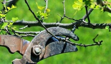 Обрезка плодовых деревьев всех видов Сезон открыт  Яблоко  Груша  Ви