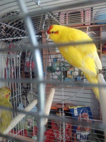 Новозеландские попугаи, волнистые, в Бишкек
