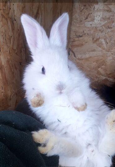Грызуны - Кыргызстан: Продаю крольчат месячных,порода великаны 300сом