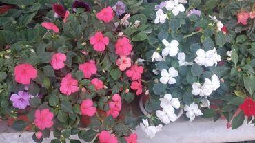 47 объявлений: Продаю цветы