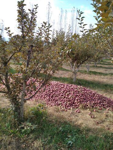129 объявлений: Продаю яблоки зимних сортов Превосходные Зимний апорт со своего сада