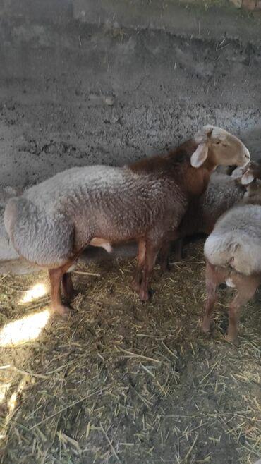 Животные - Тынчтык: Продаю | Баран (самец) | Гиссарская | Для разведения | Племенные